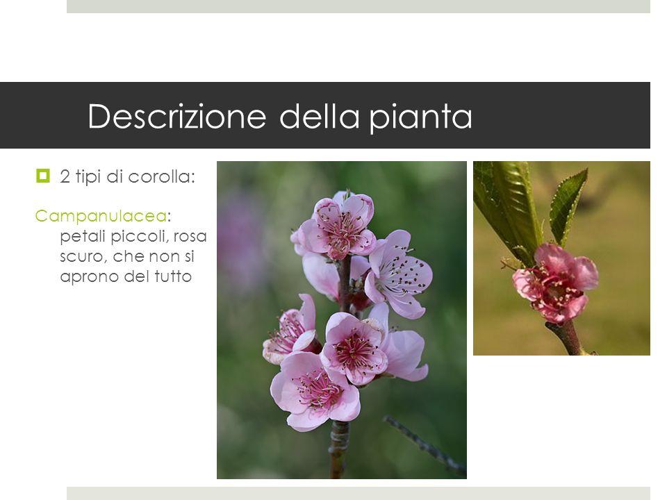 Descrizione della pianta