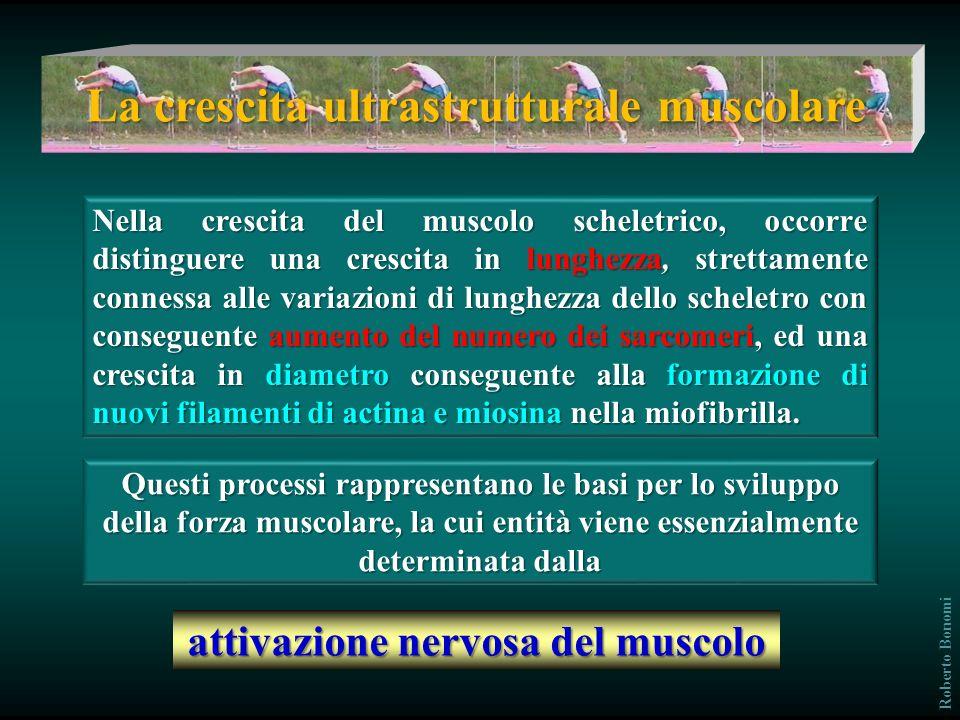 La crescita ultrastrutturale muscolare attivazione nervosa del muscolo