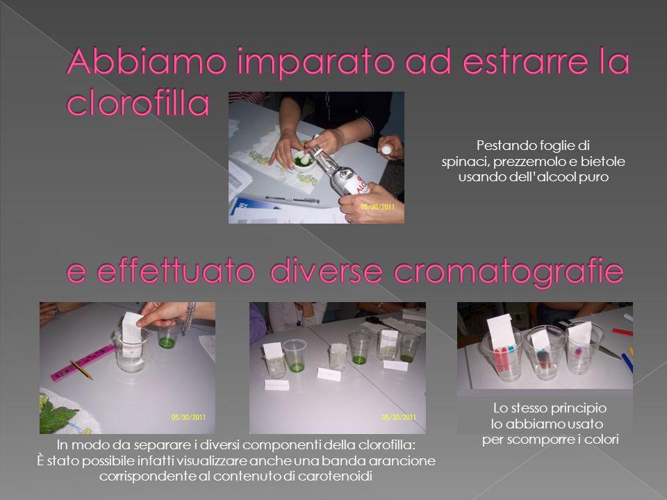 Abbiamo imparato ad estrarre la clorofilla e effettuato diverse cromatografie