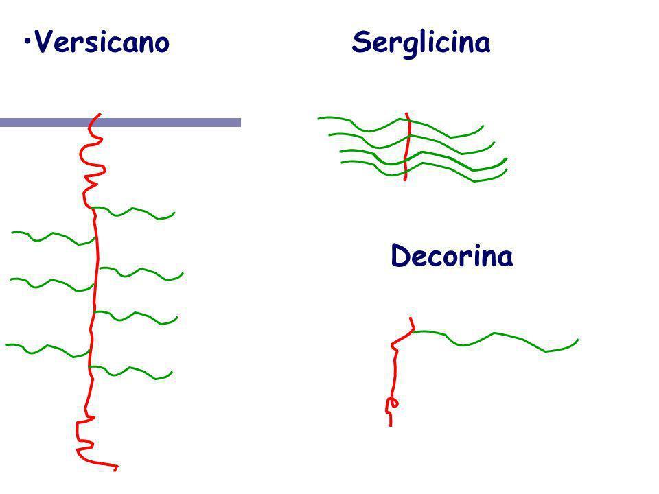 Versicano Serglicina NH3+ NH3+ COO- Decorina NH3+ COO- COO-