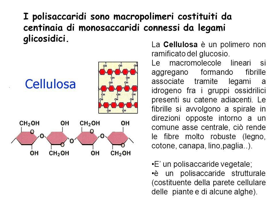 I polisaccaridi sono macropolimeri costituiti da centinaia di monosaccaridi connessi da legami glicosidici.