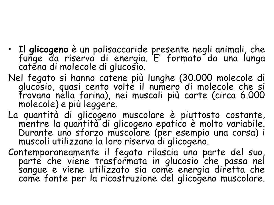 Il glicogeno è un polisaccaride presente negli animali, che funge da riserva di energia. E' formato da una lunga catena di molecole di glucosio.