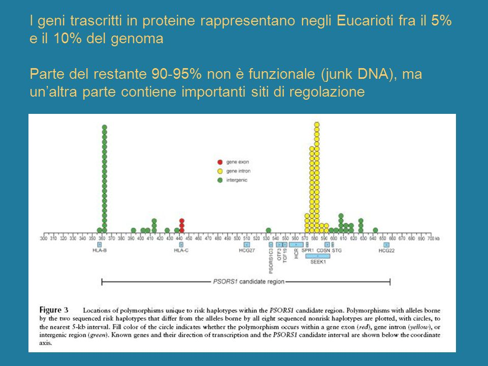 I geni trascritti in proteine rappresentano negli Eucarioti fra il 5% e il 10% del genoma