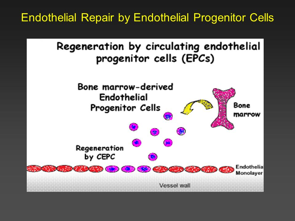 Endothelial Repair by Endothelial Progenitor Cells
