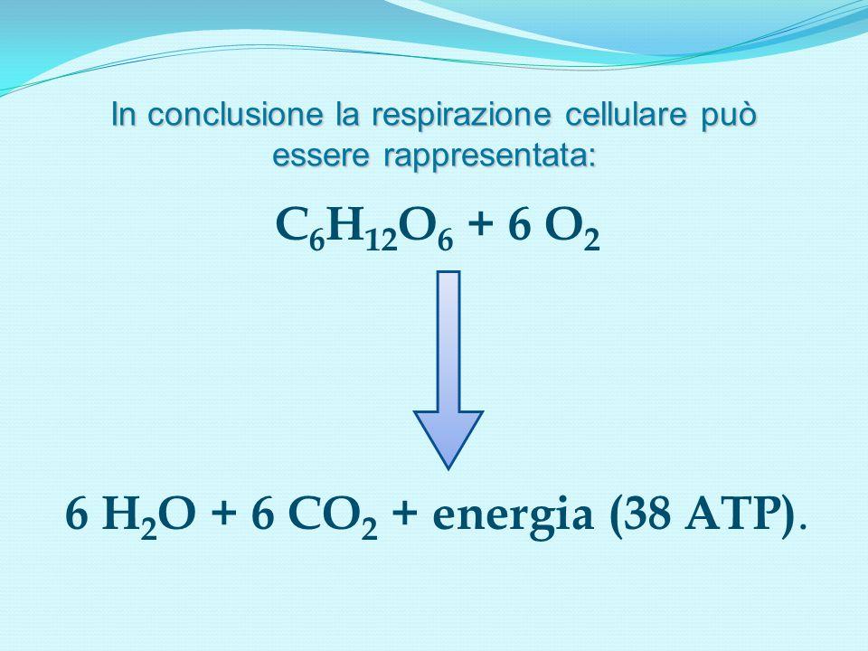 In conclusione la respirazione cellulare può essere rappresentata:
