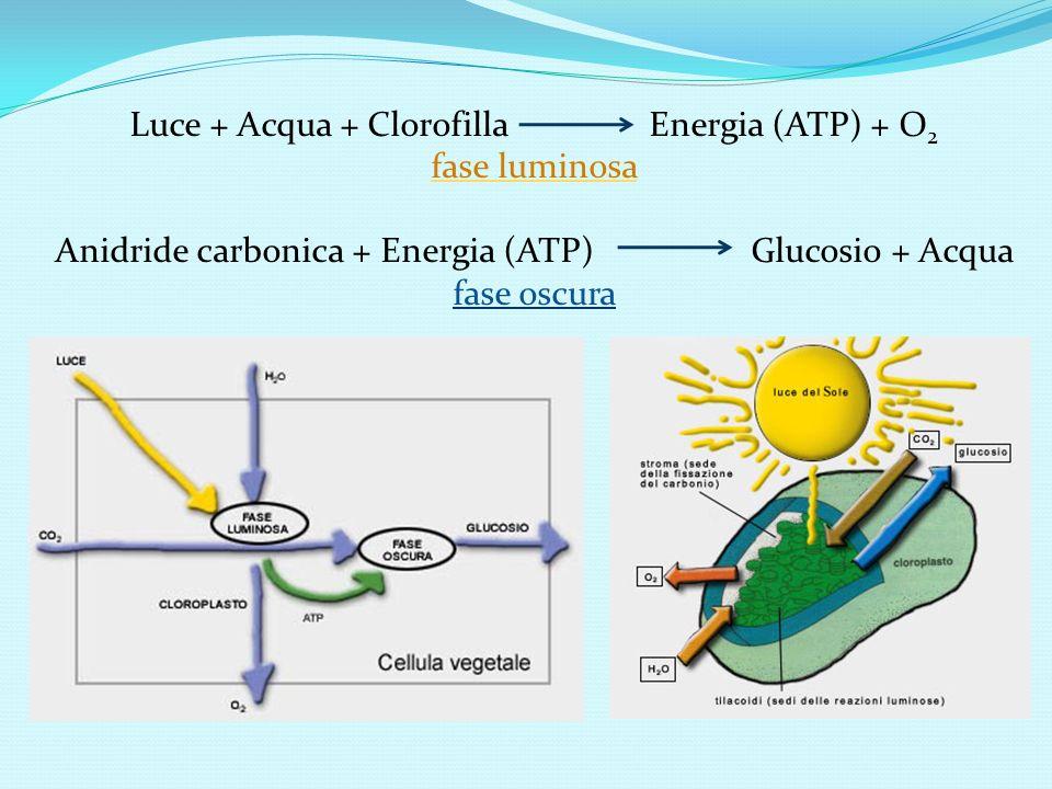 Luce + Acqua + Clorofilla Energia (ATP) + O2 fase luminosa