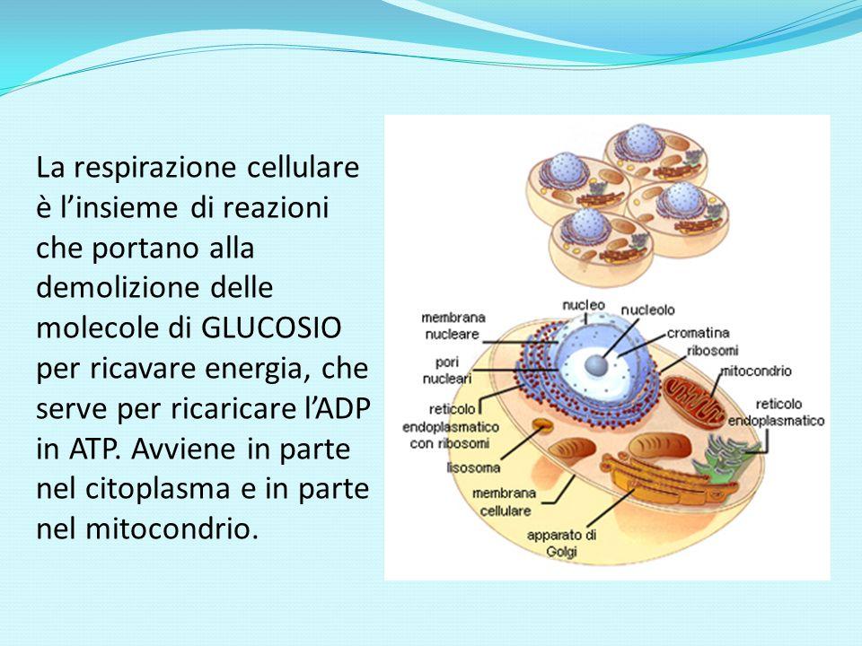 La respirazione cellulare è l'insieme di reazioni che portano alla demolizione delle molecole di GLUCOSIO per ricavare energia, che serve per ricaricare l'ADP in ATP.