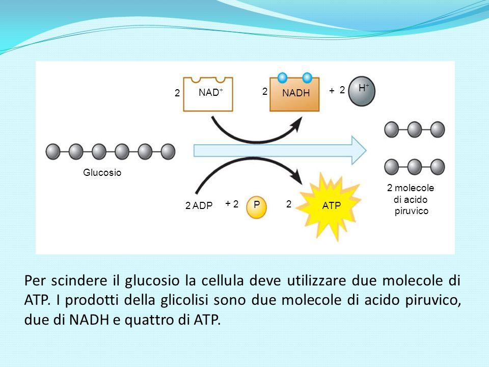 NAD NADH. H Glucosio. 2 molecole. di acido. piruvico. ATP. 2. P. 2 ADP. +