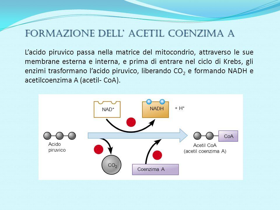 Acetil CoA (acetil coenzima A)