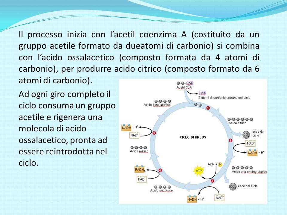 Il processo inizia con l'acetil coenzima A (costituito da un gruppo acetile formato da dueatomi di carbonio) si combina con l'acido ossalacetico (composto formata da 4 atomi di carbonio), per produrre acido citrico (composto formato da 6 atomi di carbonio).