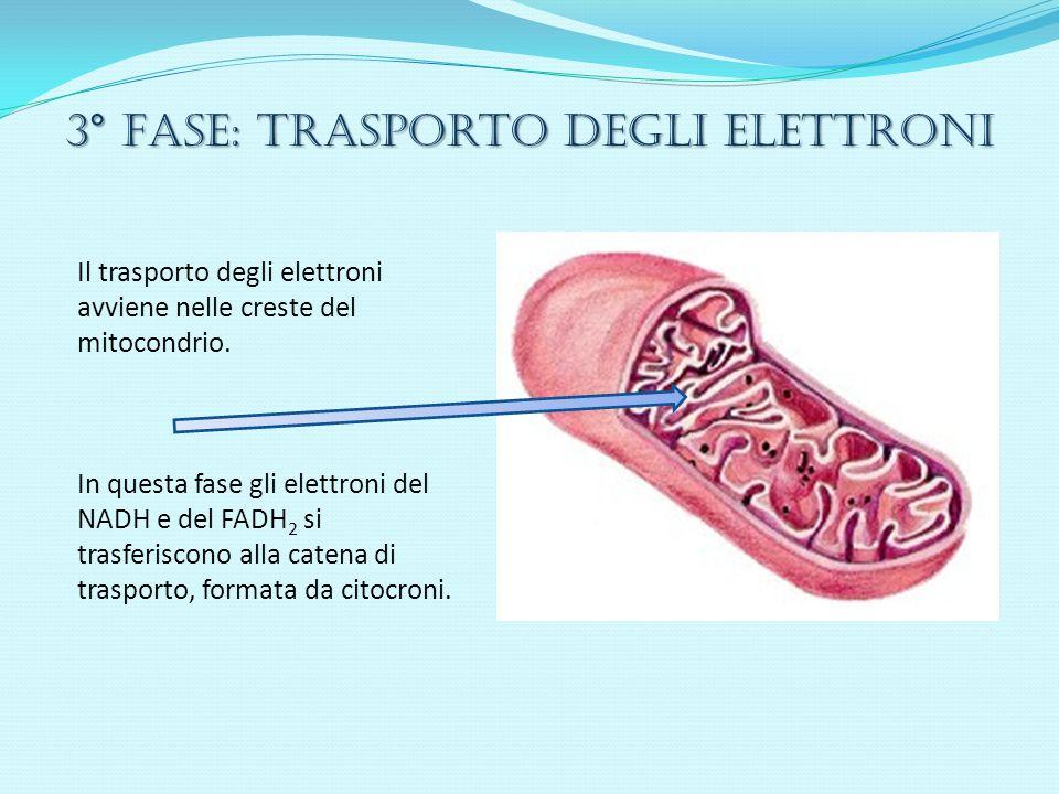 3° Fase: trasporto degli elettroni