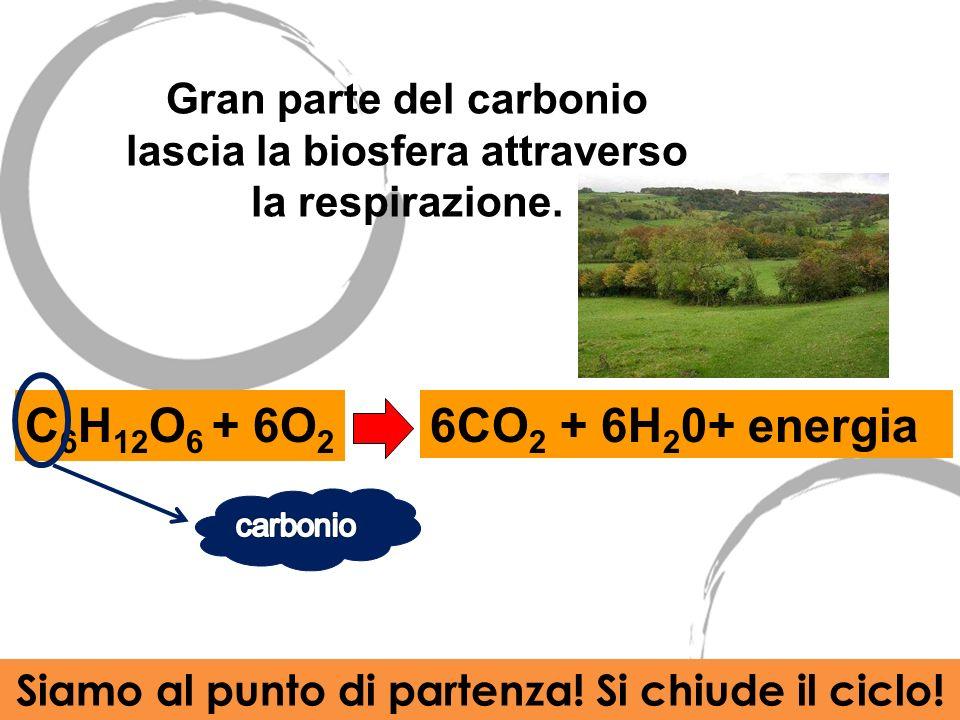 Gran parte del carbonio lascia la biosfera attraverso la respirazione.