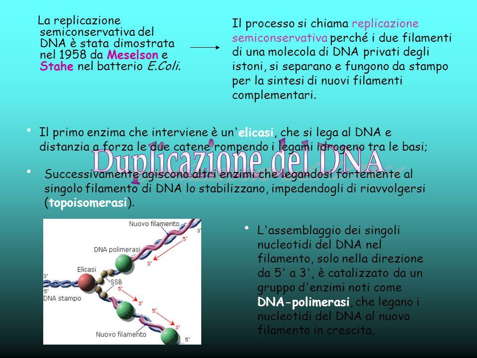 La replicazione semiconservativa del DNA è stata dimostrata nel 1958 da Meselson e Stahe nel batterio E.Coli.