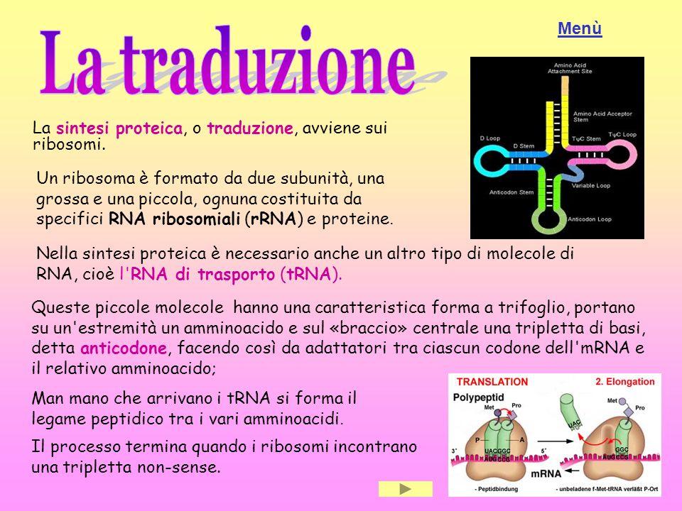 Menù La traduzione. La sintesi proteica, o traduzione, avviene sui ribosomi.