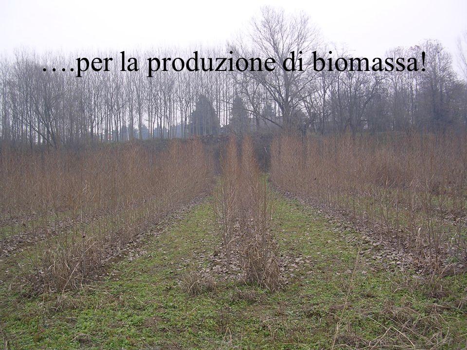 ….per la produzione di biomassa!