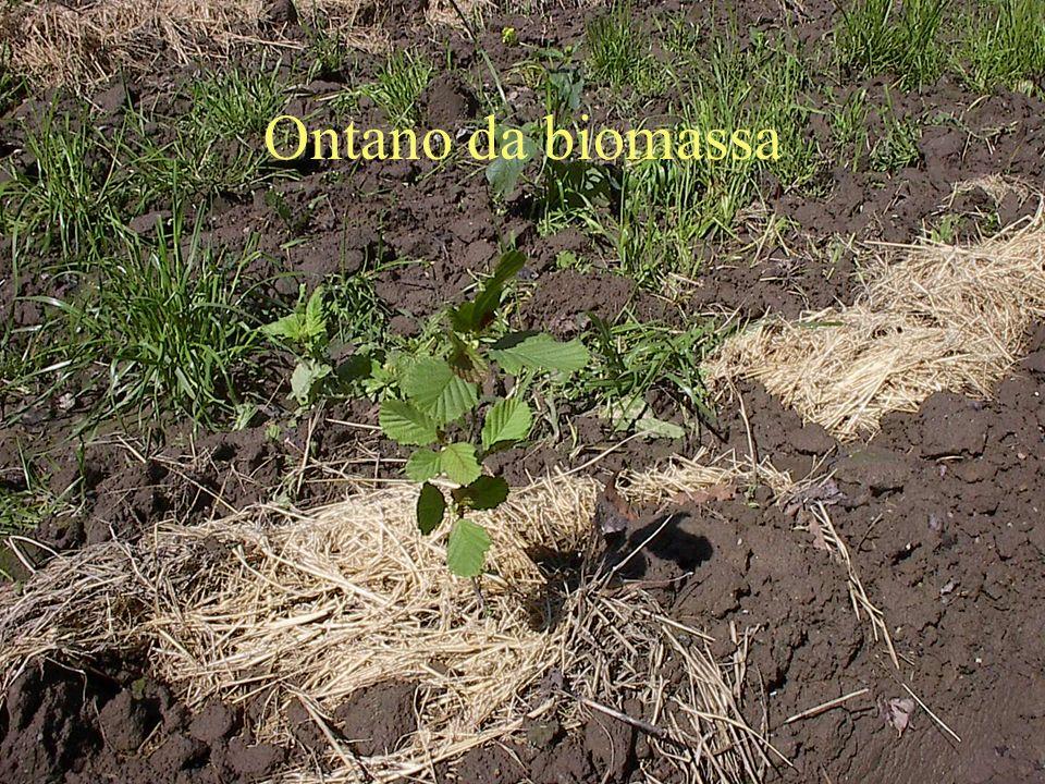 Ontano da biomassa