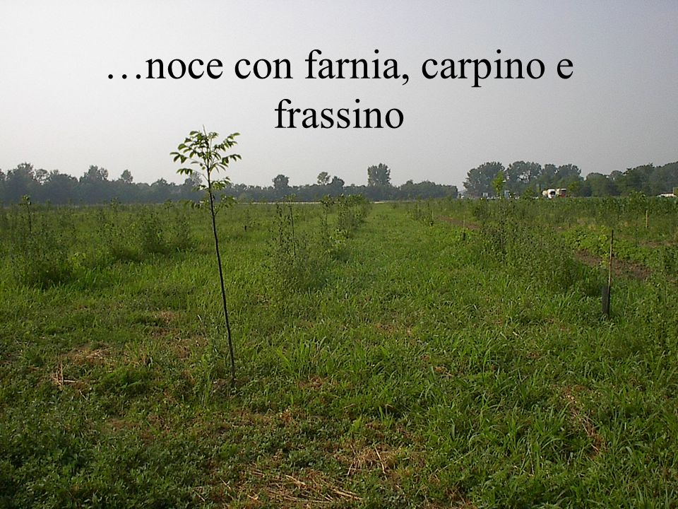 …noce con farnia, carpino e frassino