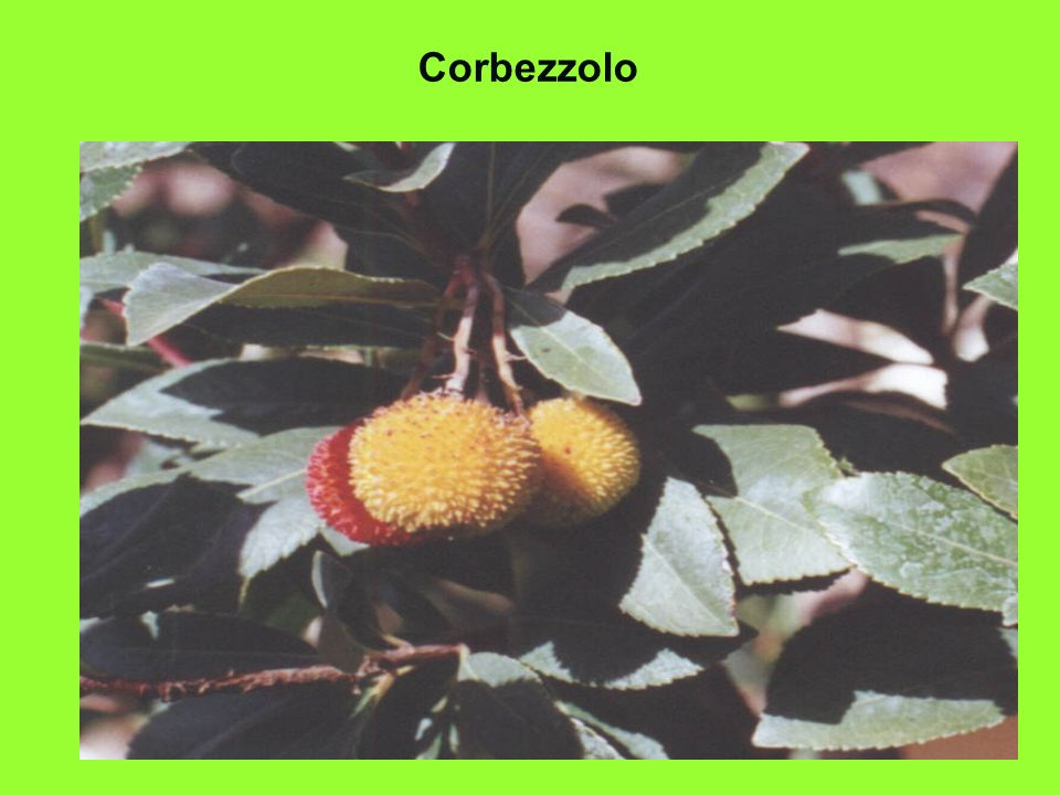 Corbezzolo