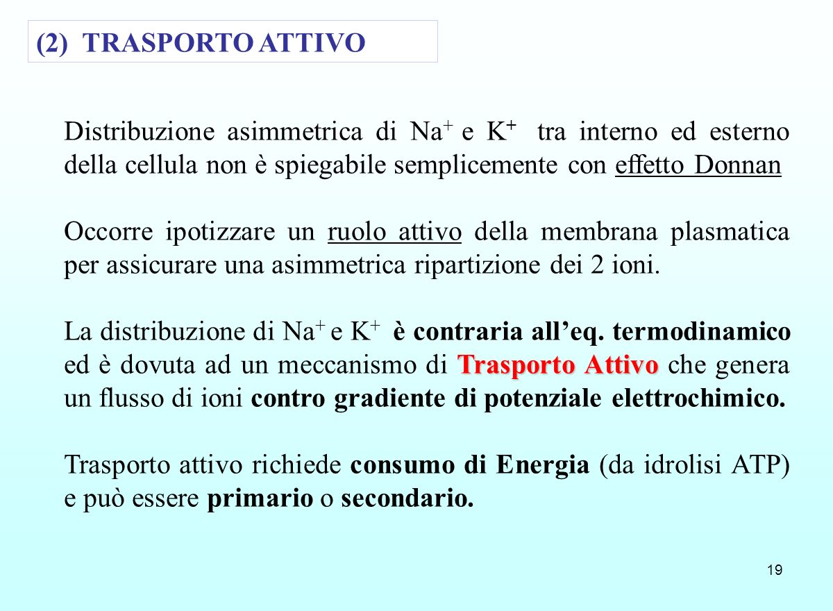 (2) TRASPORTO ATTIVO Distribuzione asimmetrica di Na+ e K+ tra interno ed esterno della cellula non è spiegabile semplicemente con effetto Donnan.