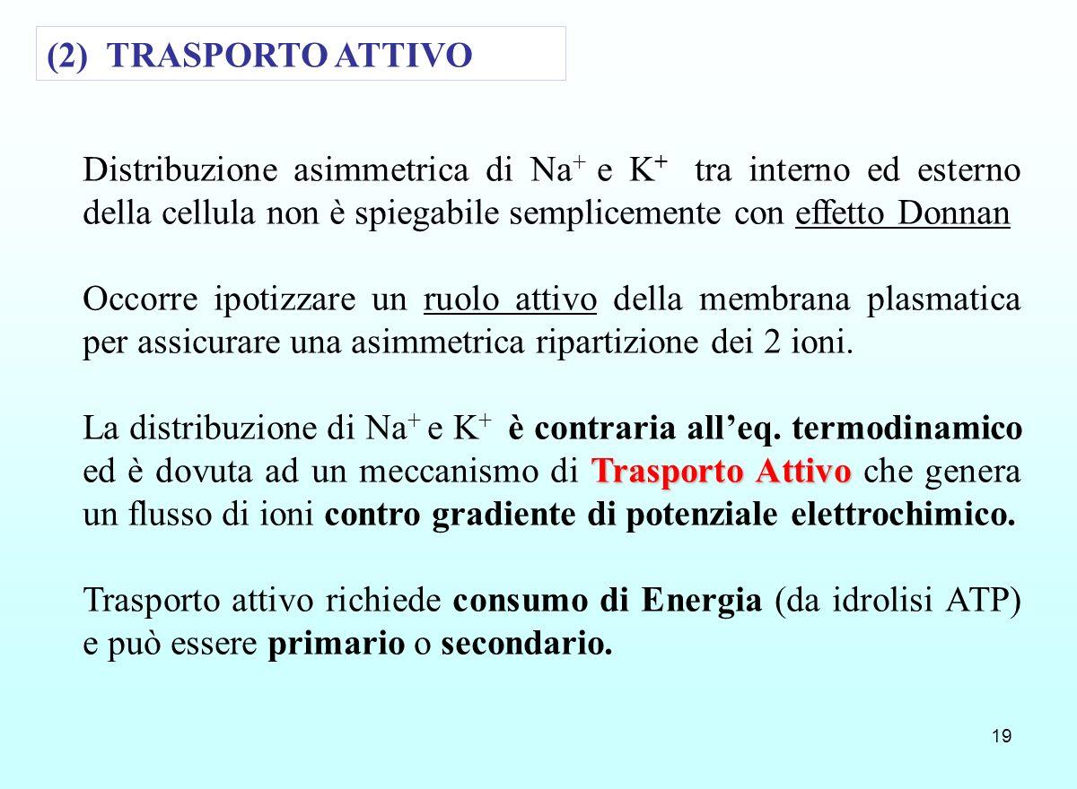 (2) TRASPORTO ATTIVODistribuzione asimmetrica di Na+ e K+ tra interno ed esterno della cellula non è spiegabile semplicemente con effetto Donnan.