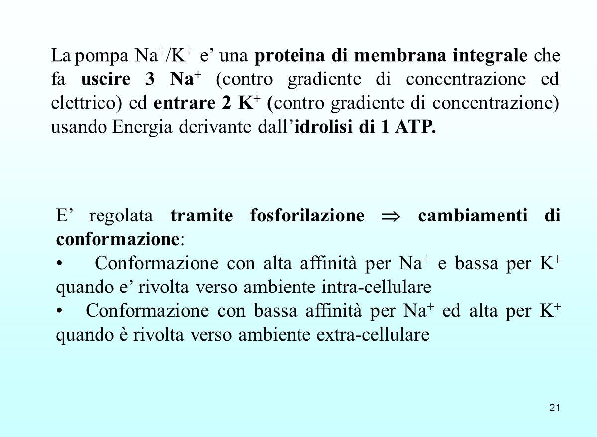 La pompa Na+/K+ e' una proteina di membrana integrale che fa uscire 3 Na+ (contro gradiente di concentrazione ed elettrico) ed entrare 2 K+ (contro gradiente di concentrazione) usando Energia derivante dall'idrolisi di 1 ATP.