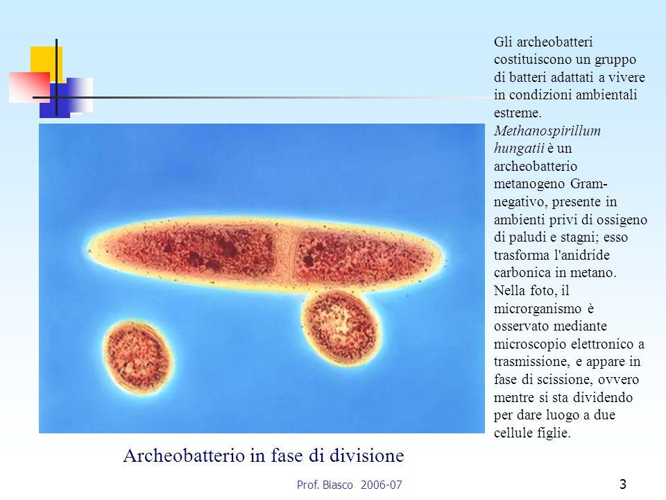 Archeobatterio in fase di divisione