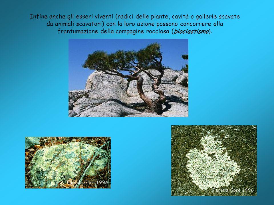 Infine anche gli esseri viventi (radici delle piante, cavità o gallerie scavate da animali scavatori) con la loro azione possono concorrere alla frantumazione della compagine rocciosa (bioclastismo).