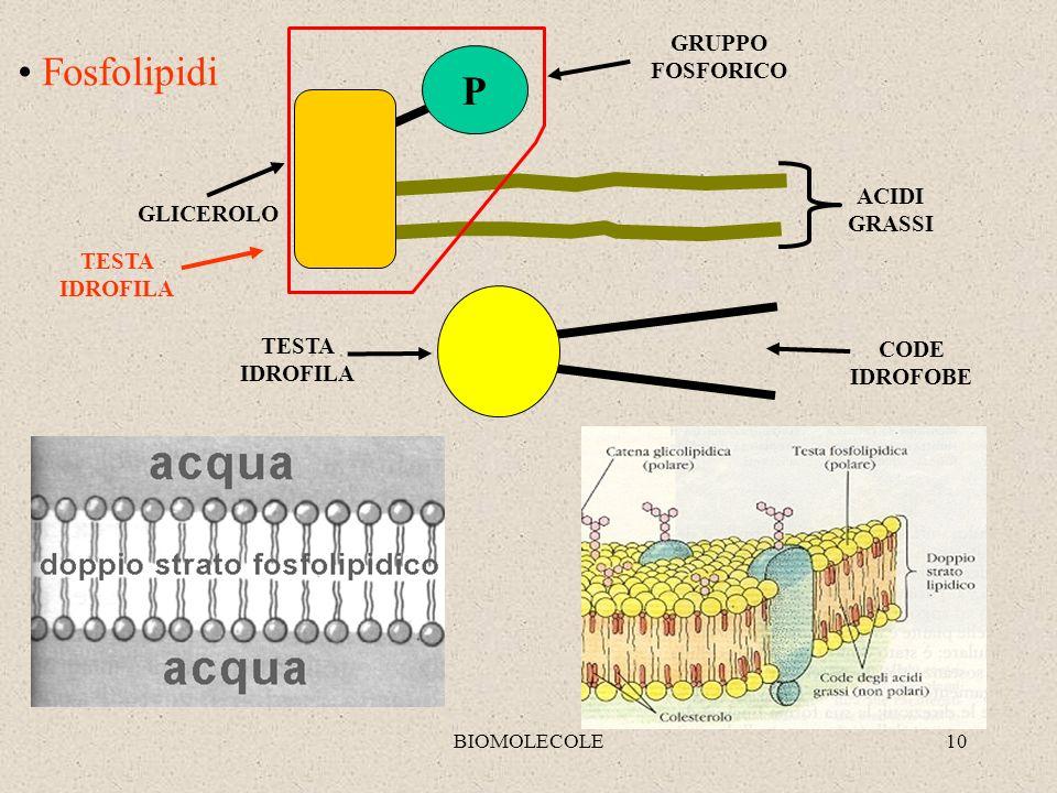 Fosfolipidi P GRUPPO FOSFORICO ACIDI GRASSI GLICEROLO TESTA IDROFILA