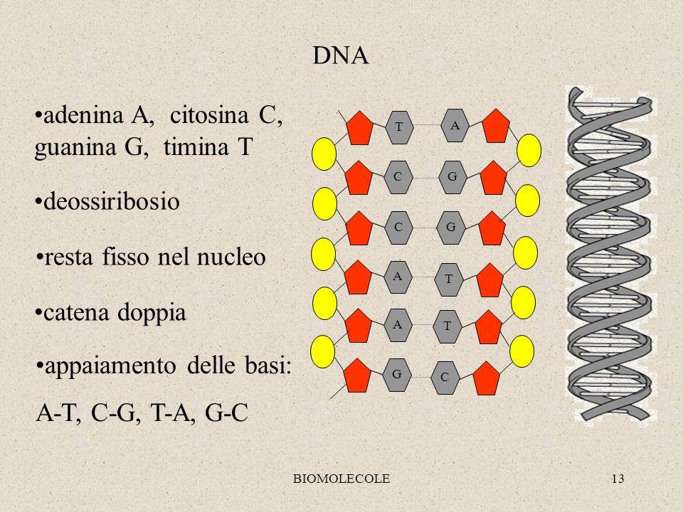 adenina A, citosina C, guanina G, timina T
