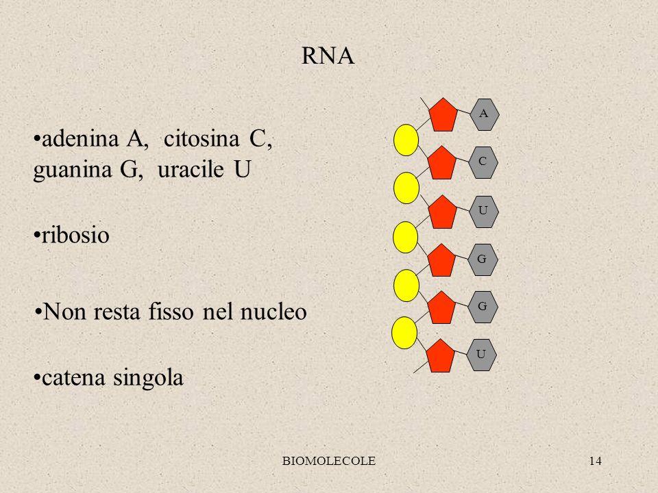 adenina A, citosina C, guanina G, uracile U