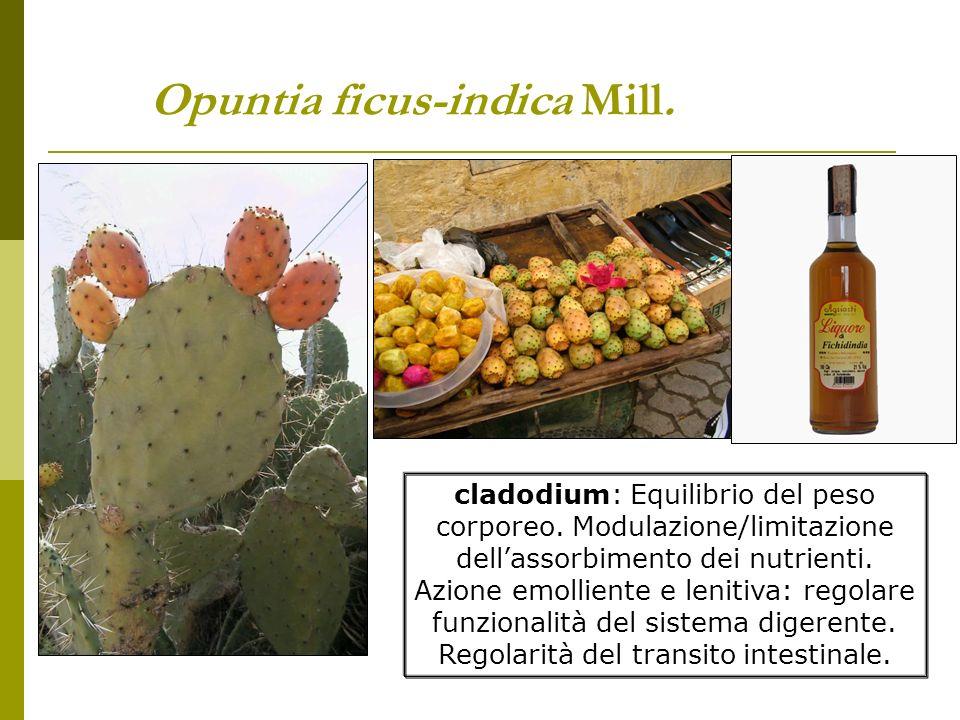 Opuntia ficus-indica Mill.