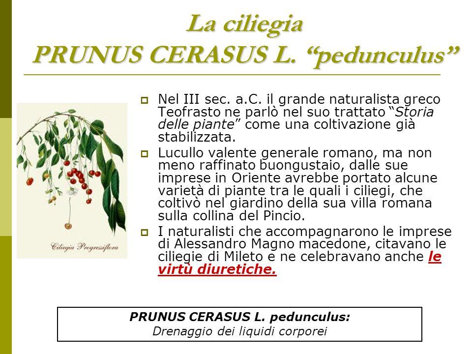 La ciliegia PRUNUS CERASUS L. pedunculus