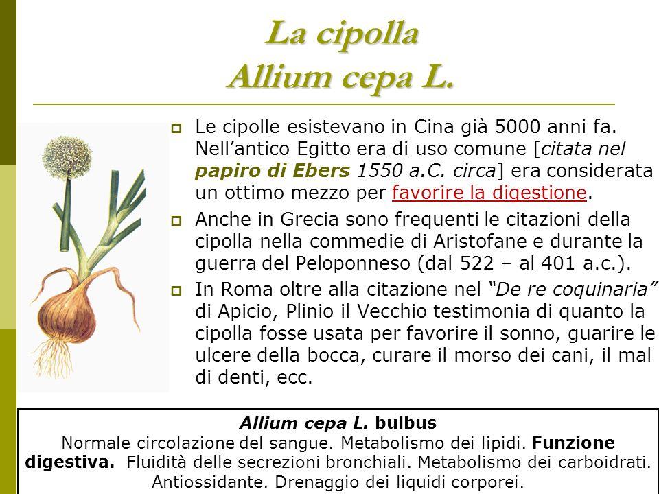 La cipolla Allium cepa L.