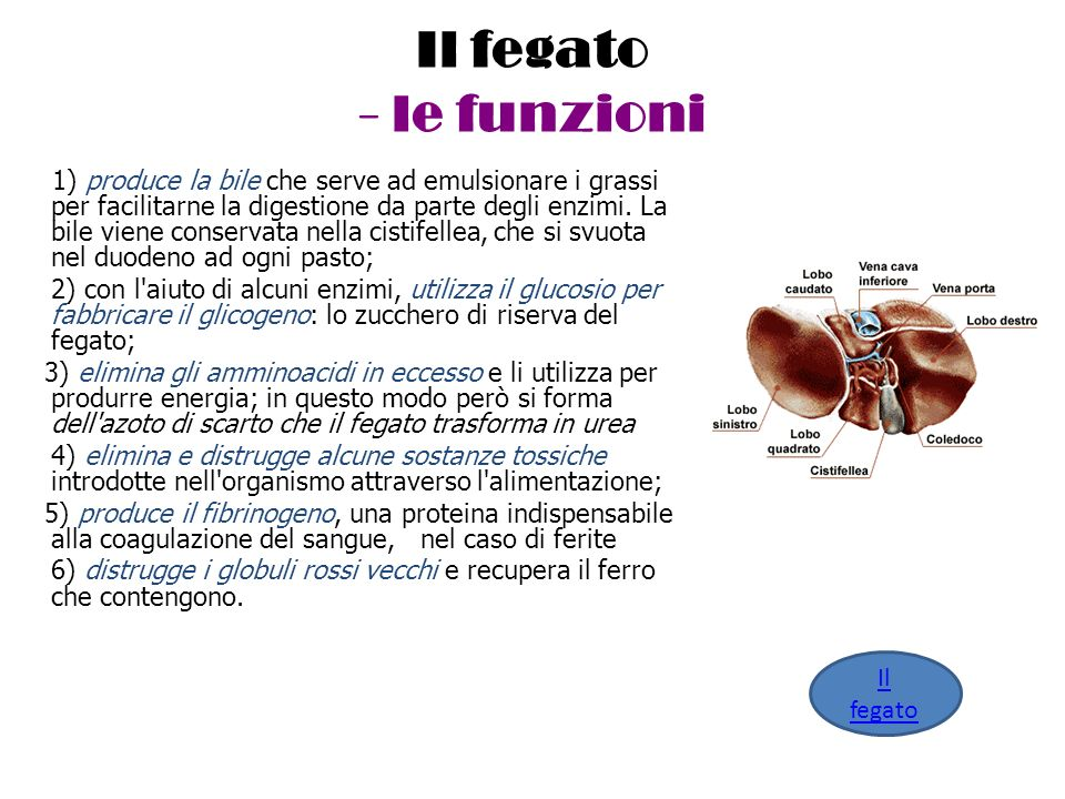 Il fegato - le funzioni