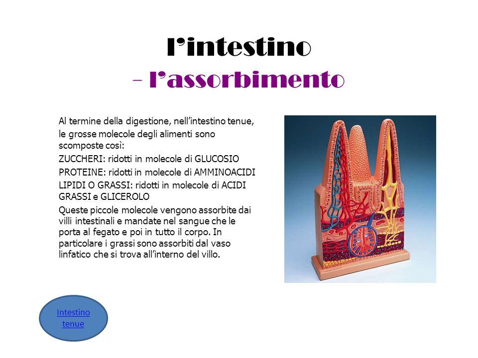 l'intestino - l'assorbimento