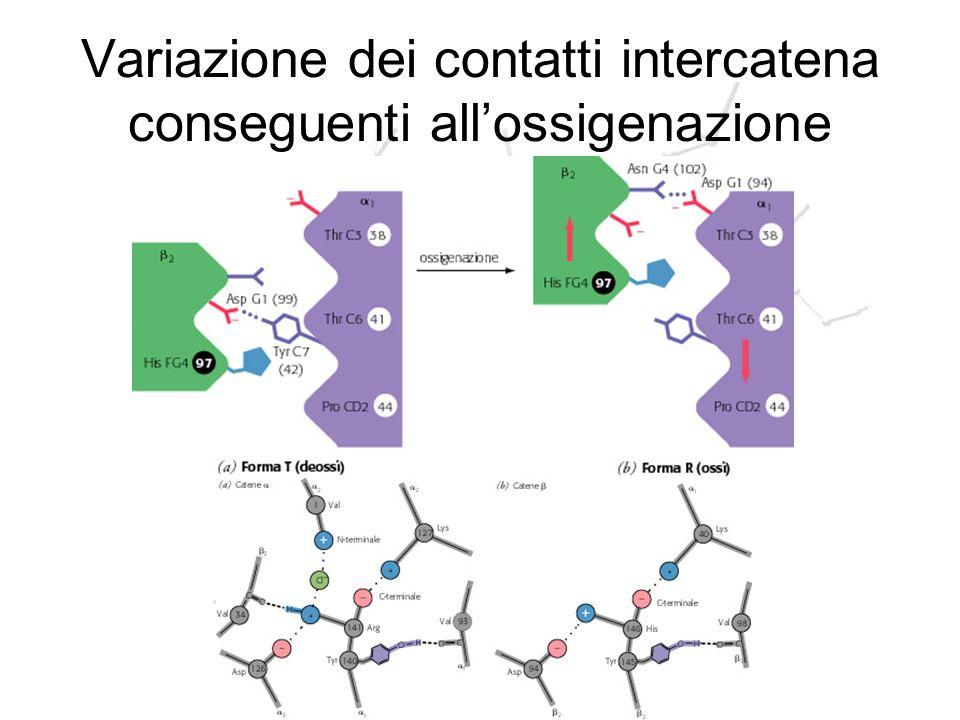 Variazione dei contatti intercatena conseguenti all'ossigenazione