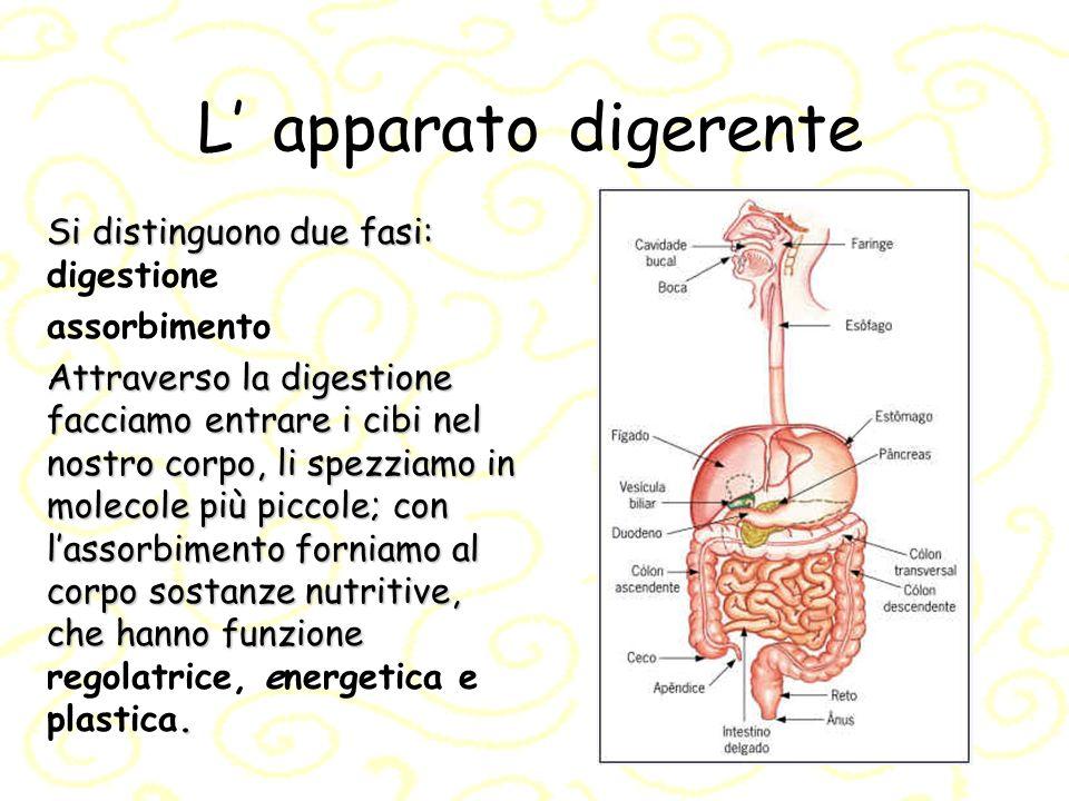 L' apparato digerente Si distinguono due fasi: digestione assorbimento