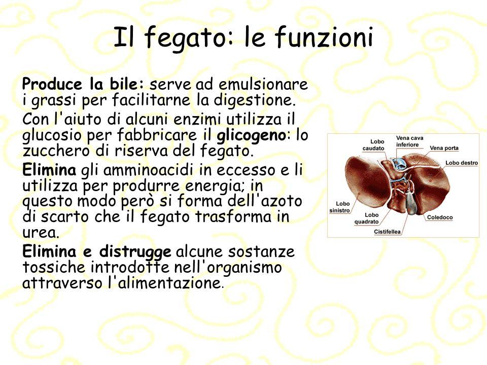 Il fegato: le funzioni Produce la bile: serve ad emulsionare i grassi per facilitarne la digestione.