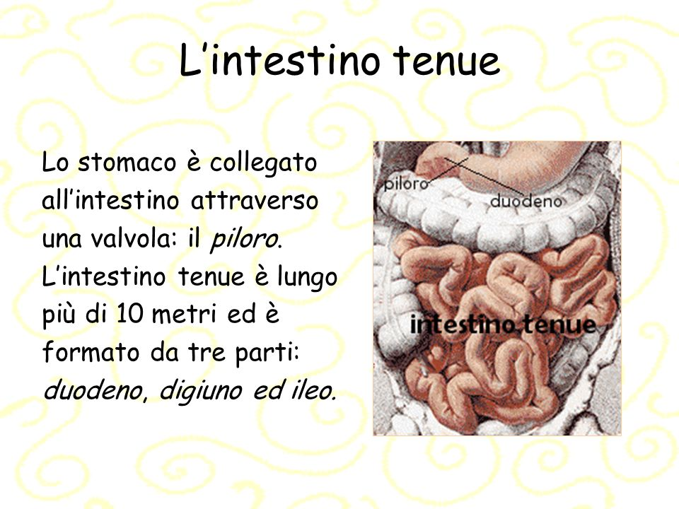 L'intestino tenue Lo stomaco è collegato all'intestino attraverso