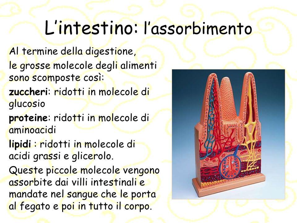 L'intestino: l'assorbimento
