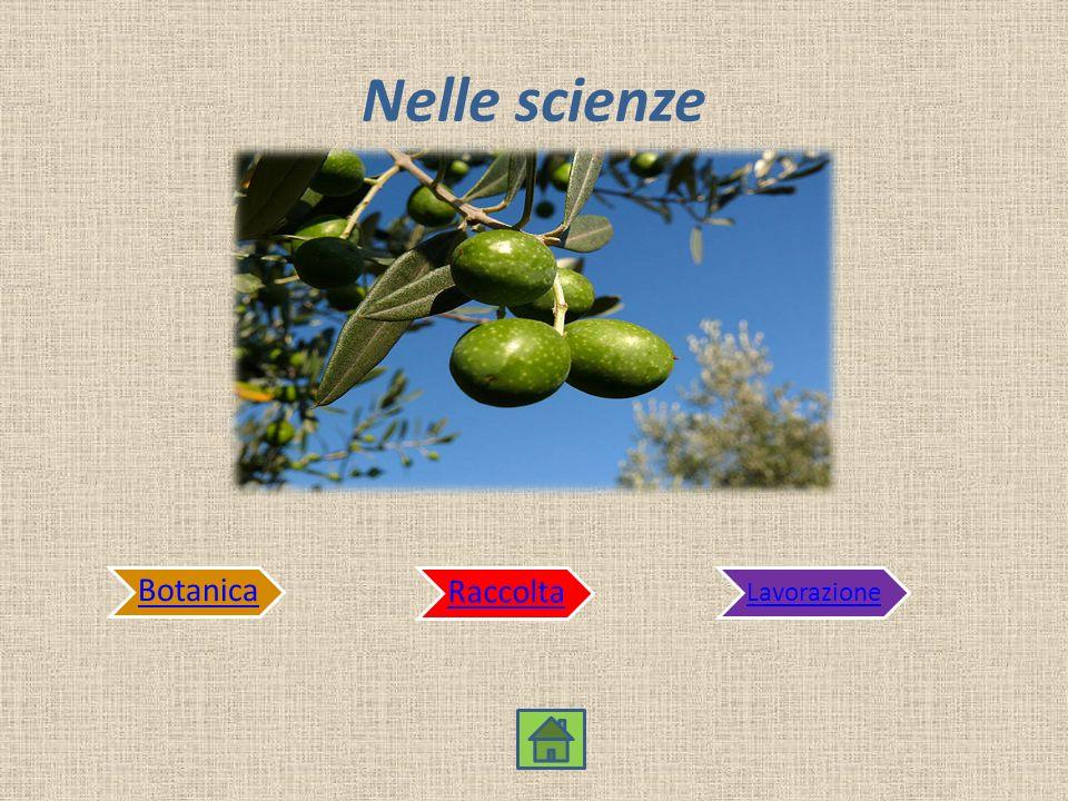 Nelle scienze Botanica Raccolta Lavorazione