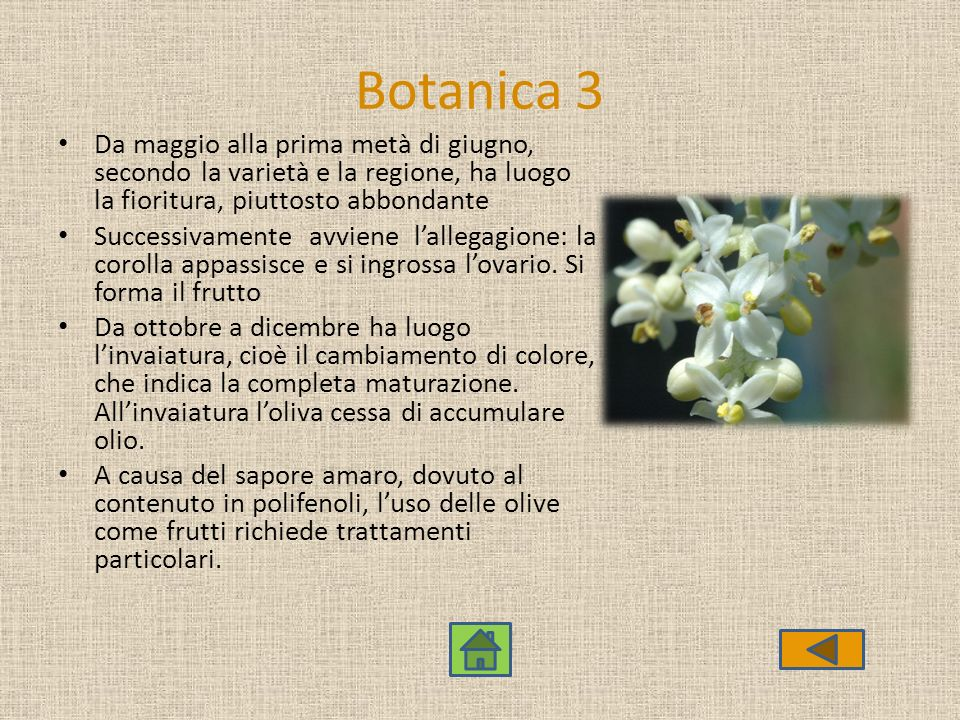 Botanica 3 Da maggio alla prima metà di giugno, secondo la varietà e la regione, ha luogo la fioritura, piuttosto abbondante.