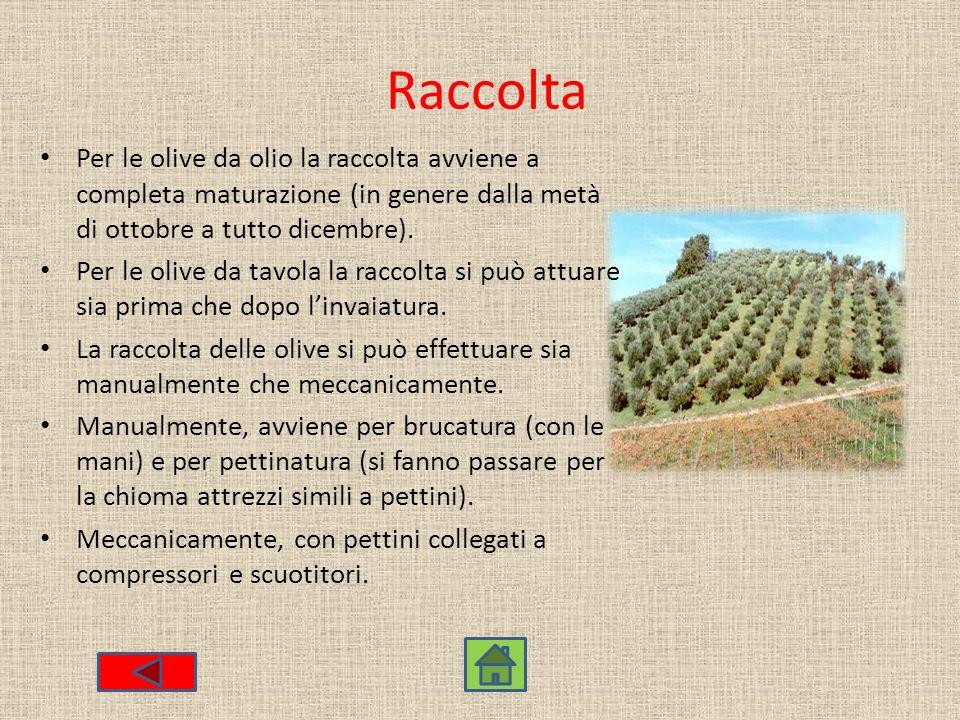 Raccolta Per le olive da olio la raccolta avviene a completa maturazione (in genere dalla metà di ottobre a tutto dicembre).