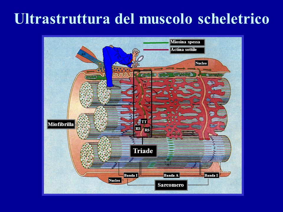 Ultrastruttura del muscolo scheletrico