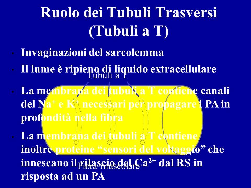 Ruolo dei Tubuli Trasversi (Tubuli a T)