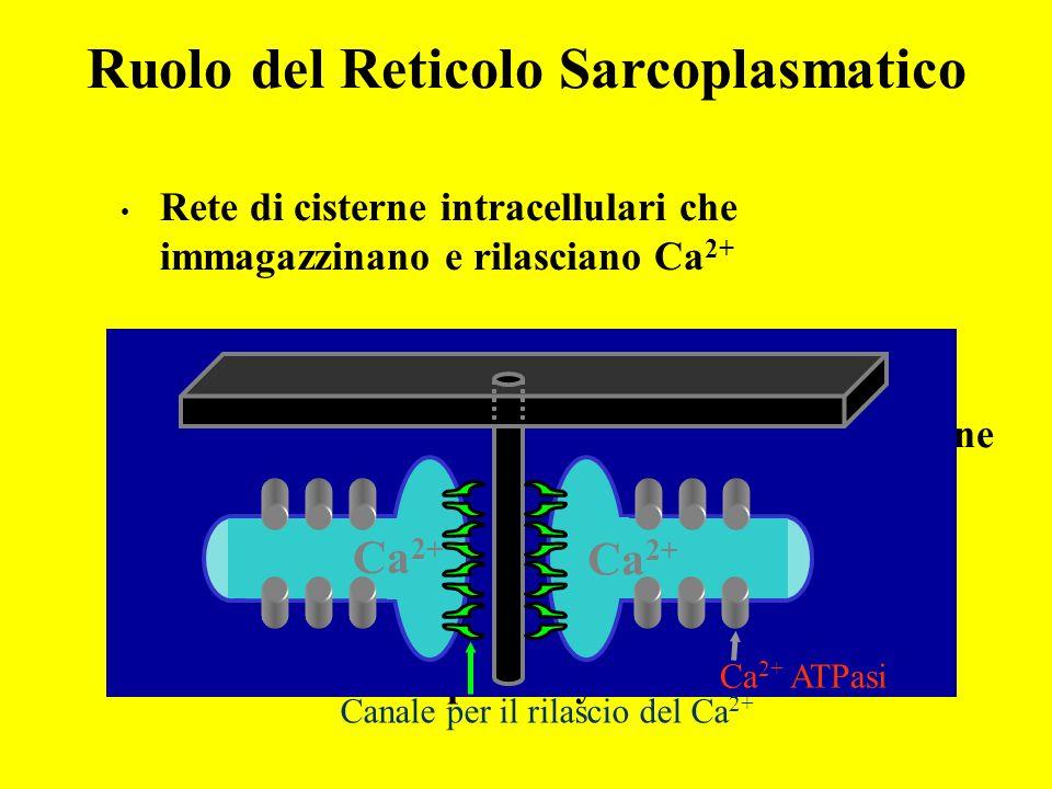 Ruolo del Reticolo Sarcoplasmatico
