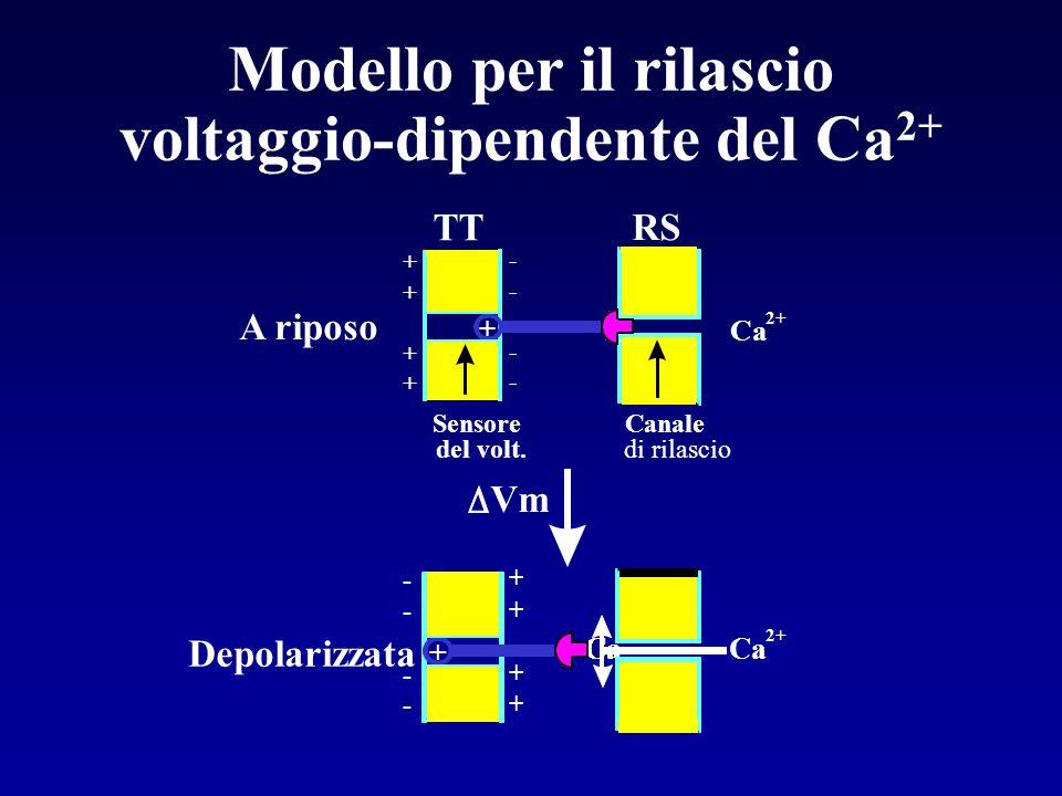 Modello per il rilascio voltaggio-dipendente del Ca2+