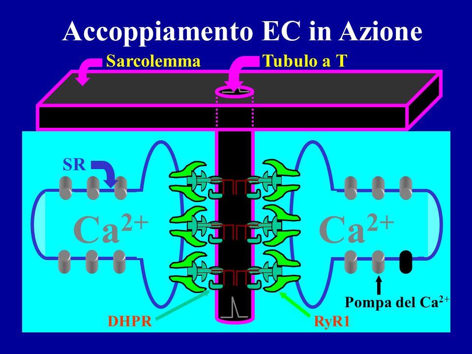 Ca2+ Accoppiamento EC in Azione SR Tubulo a T Sarcolemma RyR1 DHPR