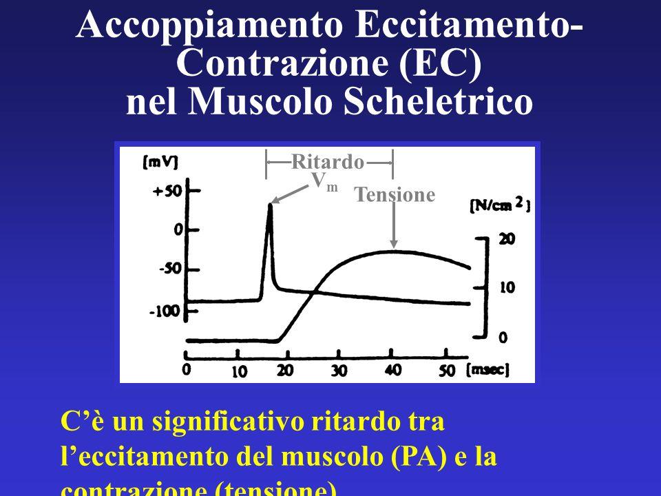 Accoppiamento Eccitamento-Contrazione (EC) nel Muscolo Scheletrico
