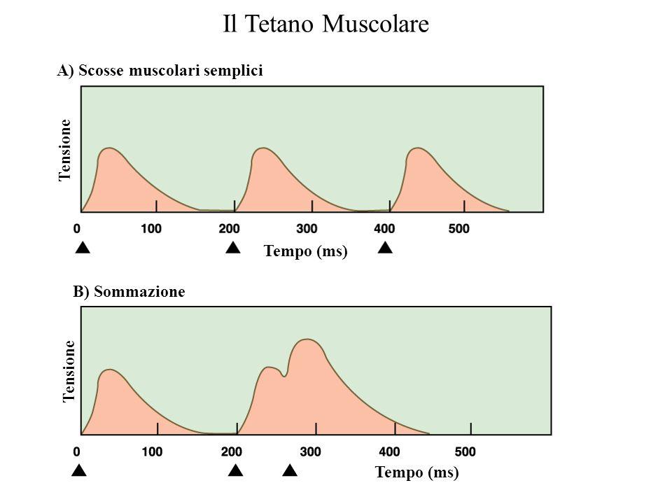 Il Tetano Muscolare A) Scosse muscolari semplici Tensione Tempo (ms)